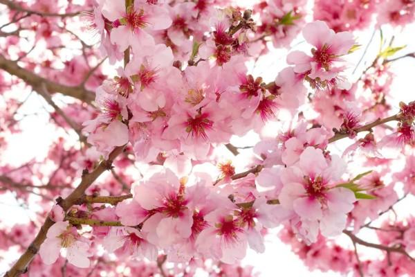 Vliestapete Apfelblüten 375x250
