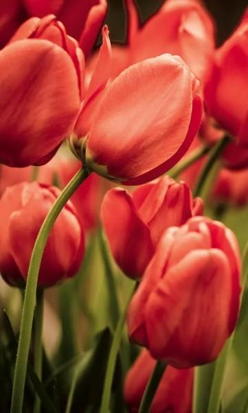 Vlies Fototapete rote Tulpen 150x250