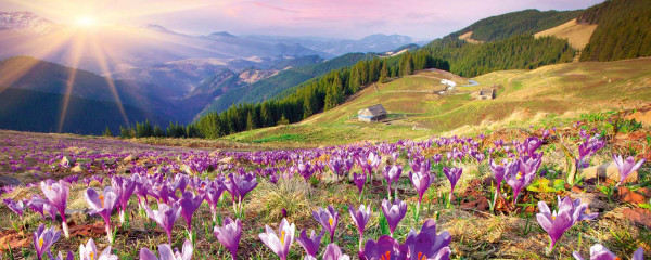 Panorama Vliestapete Krokus Alm 375x150