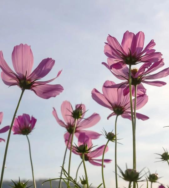 Vliestapete Cosmea Blumen 225x250
