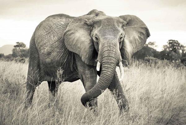 Vliestapete Fototapete afrikanischer Elefant