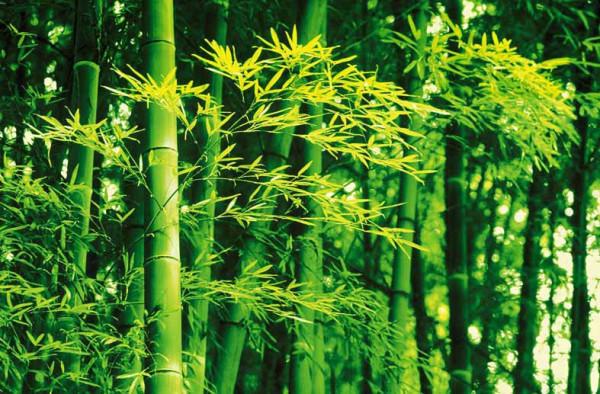 Wandbild Poster Bambus im Frühling