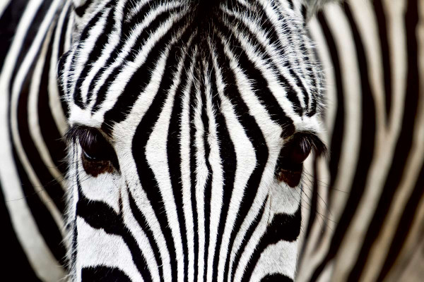 Vliestapete Zebra 375x250