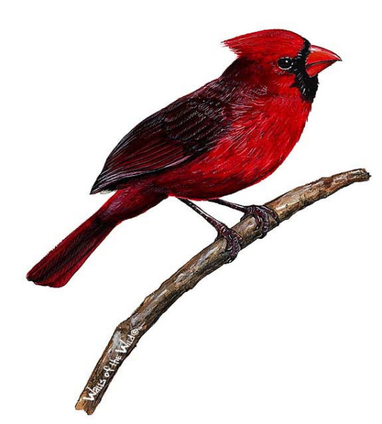 Wandsticker Kardinal Vogel