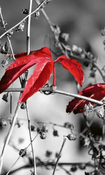 Vlies Fototapete rotes Blatt schwarz-weiß 150x250
