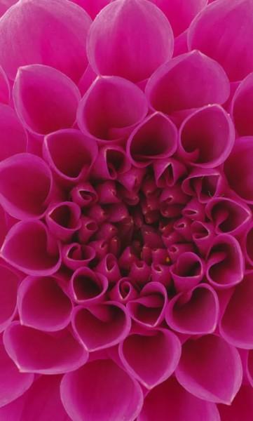 Vlies Fototapete Pink Dahlie 150x250