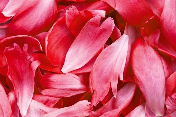 Vliestapete rote Blütenblätter 375x250