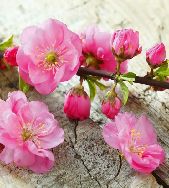 Vliestapete japanische Kirschblüte 225x250