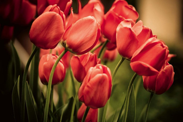 Vliestapete rote Tulpen 375x250