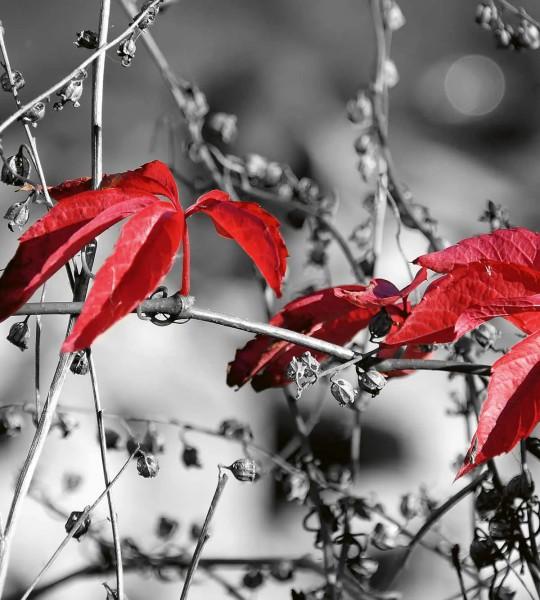 Vliestapete rotes Blatt schwarz-weiß 225x250