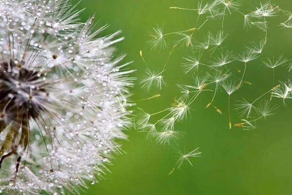Vliestapete Pusteblumen Samen 375x250