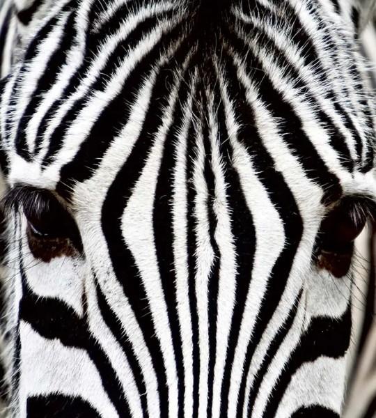 Vliestapete Zebra 225x250