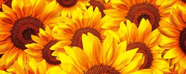 Panorama Vliestapete Sonnenblumen 375x150