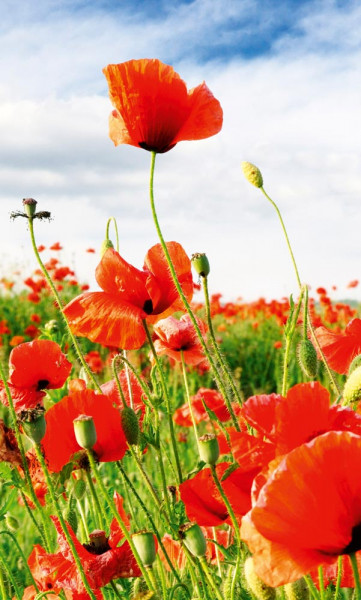 Vlies Fototapete rote Mohnblumen 150x250
