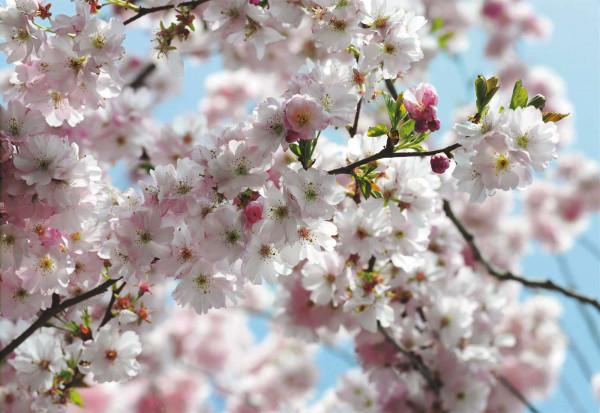 Fototapete Kirschblüten Frühling