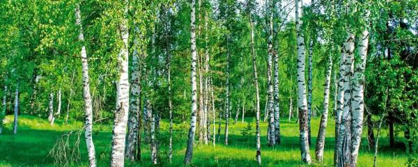 Panorama Vliestapete Birkengrün 375x150