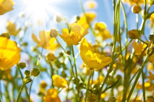 Vliestapete gelbe Blumen 375x250