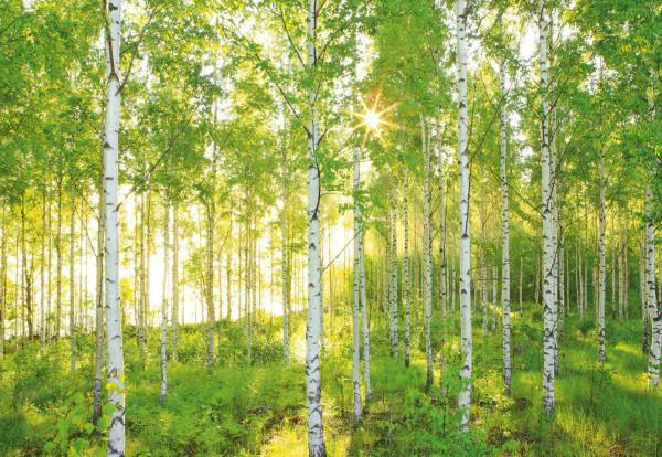 Fototapete Sonne im Birkenwald