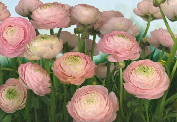 Fototapete zarte rosa Rosenblüten