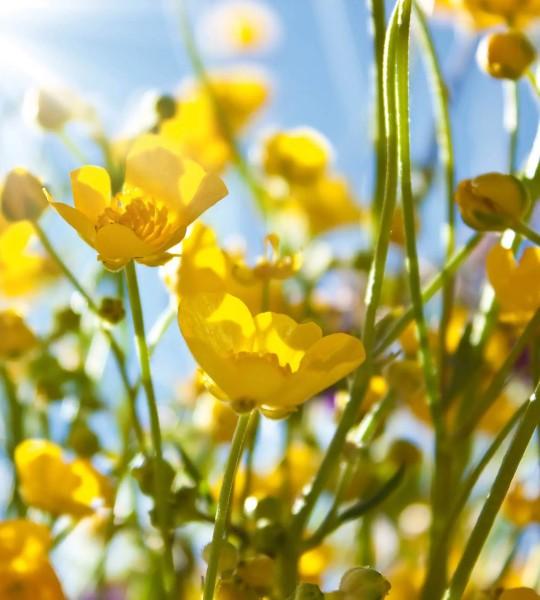Vliestapete gelbe Blumen 225x250