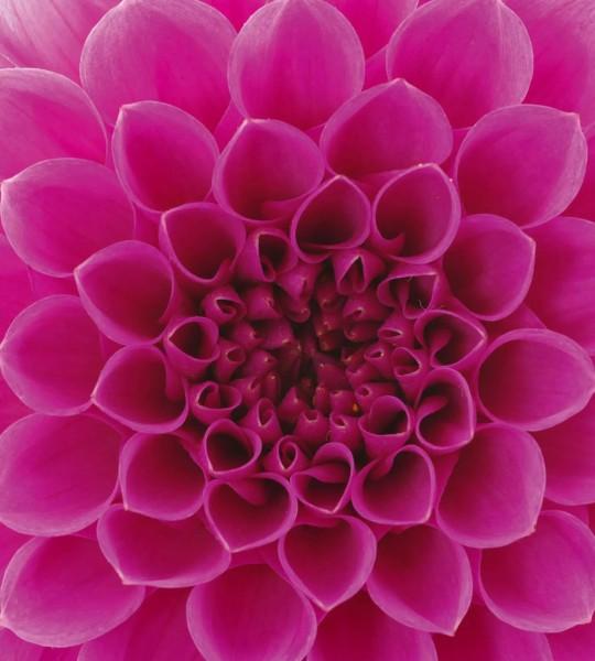 Vliestapete Pink Dahlie 225x250
