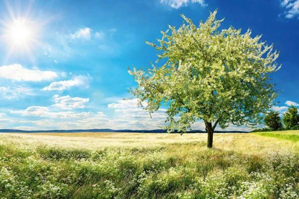 Vliestapete blühender Baum 375x250