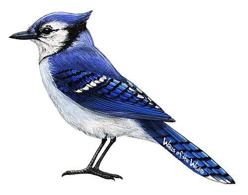Wandsticker Blauhäher Vogel