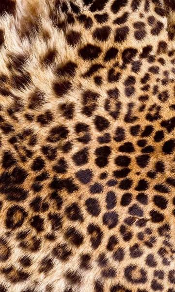 Vlies Fototapete Leoparden Fell 150x250