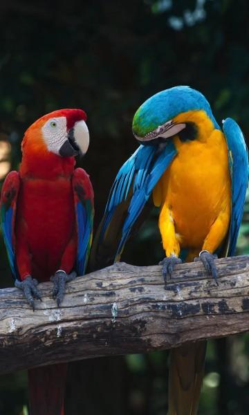 Vlies Fototapete Papageien Aras 150x250