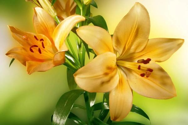 Vliestapete gelbe Lilie 375x250