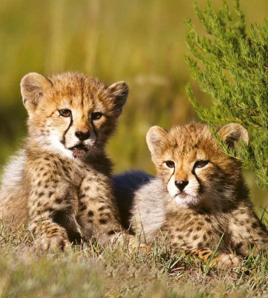Vliestapete Gepard Babys 225x250Vliestapete Gepard Babys 225x250