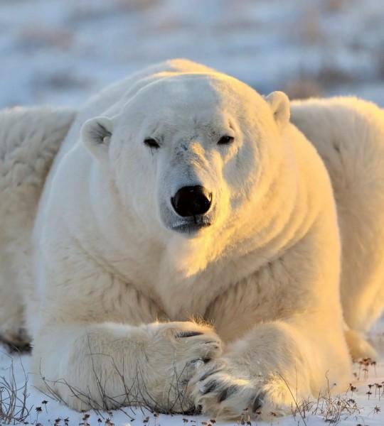 Vliestapete Eisbär 225x250