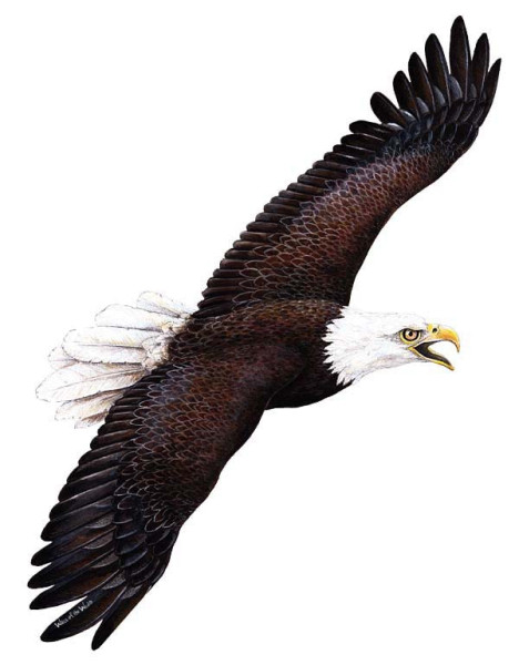 Walls of the Wild Wandsticker Seeadler