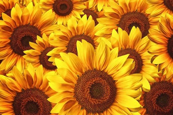 Vliestapete Sonnenblumen 375x250