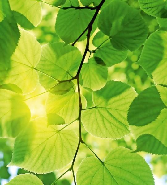 Vliestapete grüne Blätter 225x250