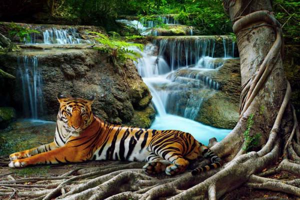 Fototapete bengalischer Tiger