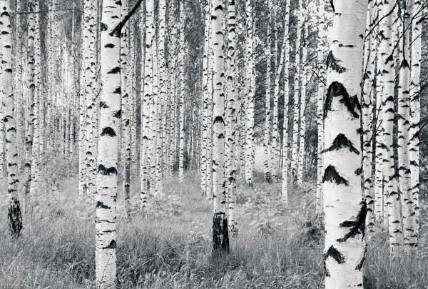 Vlies Fototapete Birkenwald