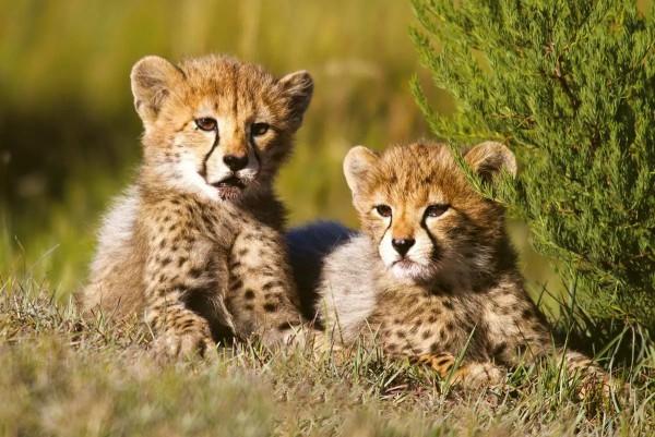 Vliestapete Gepard Babys 375x250
