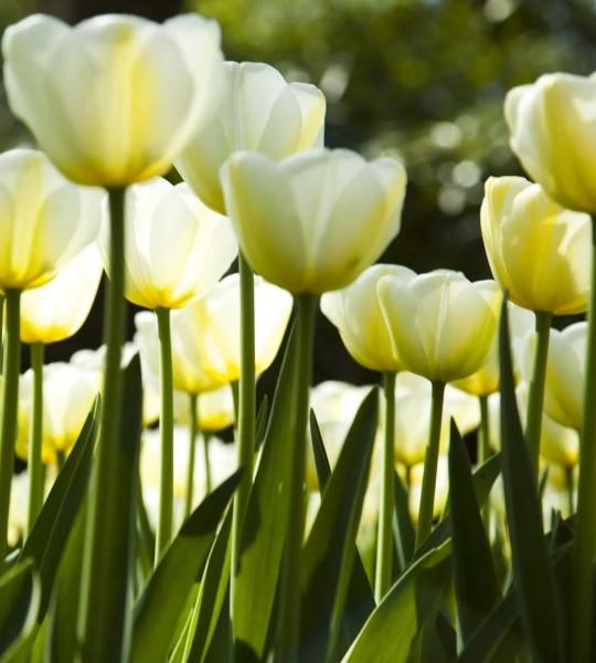 Vliestapete weiße Tulpen 225x250