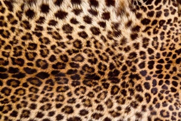 Vliestapete Leoparden Fell 375x250