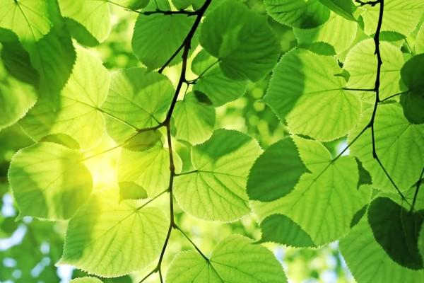 Vliestapete grüne Blätter 375x250