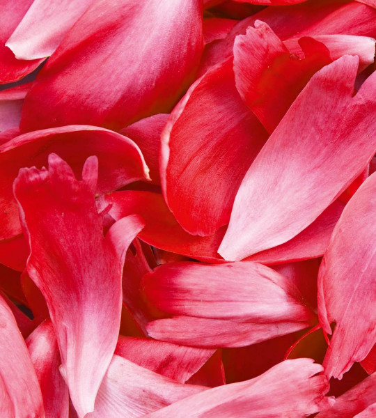 Vliestapete rote Blütenblätter 225x250