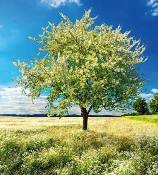 Vliestapete blühender Baum 225x250