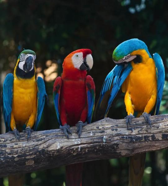 Vliestapete Papageien Aras 225x250