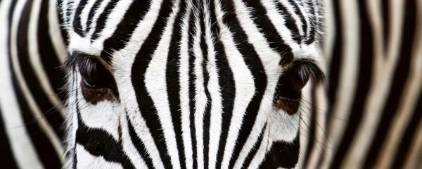 Panorama Vliestapete Zebra 375x150