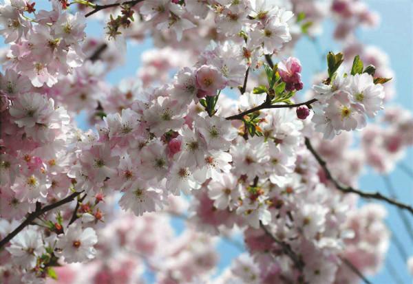 Vliestapete Fototapete Kirschblüten im Frühling