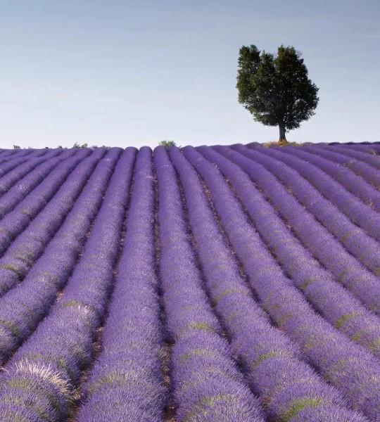 Vliestapete Lavendel Feld 225x250