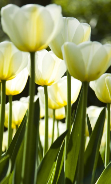 Vlies Fototapete weiße Tulpen 150x250