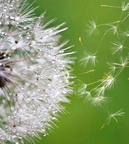 Vliestapete Pusteblumen Samen 225x250