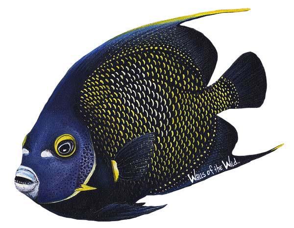 Wandsticker Franzosen Kaiserfisch